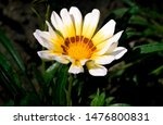 Gazania Yellow White Summer...