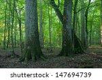 Monumental Oak Trees Of...