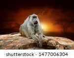 close monkey on savanna... | Shutterstock . vector #1477006304