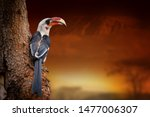 close red billed hornbill on... | Shutterstock . vector #1477006307