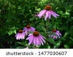 Coneflowers In A Butterfly...
