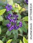 "Small photo of Heliotrope, Heliotropium arborescens, garden heliotrope, common heliotrope, ""cherry pie"" - ornamental plant with violet flowers"