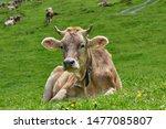 Heaven On Earth  Cow Is Posing...