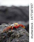 Galapagos Sally Lightfoot Crab...