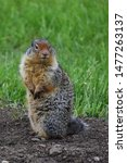 A Fox Squirrel  Sciurus Niger ...