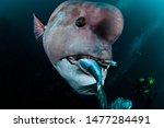 Asia Sheepshead Wrasse Underwater in Chiba, Japan