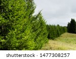 Spruce Grove With Young Trees