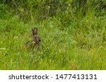 Stock photo canadian hare in a meadow 1477413131