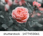 Stock photo pink rose flower bloom on a background of blurry pink roses in a roses garden 1477453061