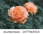 Stock photo red rose flower bloom on a background of blurry red roses in a roses garden 1477465514