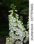 Small photo of White Fox Glove Flowers outdoors