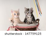Stock photo kittens playing 147759125