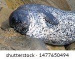 Sleeping Seal At The Coast Of...