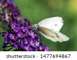 Close Up Of Large White ...