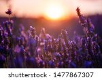Lavender Flowers At Sunset In...