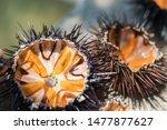Fresh Sea Urchins  Ricci Di...