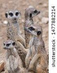 Mob Of Meerkats   Group Of...