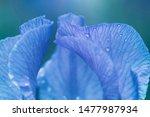Stock photo purple iris with droplets beautiful iris close up petals of iris close up 1477987934
