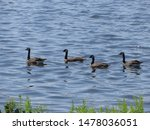 Geese Swimming In The River