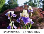 Four Purple And White Iris' In...