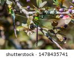 Stock photo dragonflies perched on the branch tree and flowers 1478435741