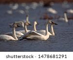A Tundra Swan stretches as it rests with hundreds of others in a backwater of the Upper Mississippi NWR during the fall migration.  Taken in Minnesota