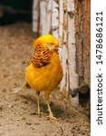 Golden Pheasant. Poultry Yard....