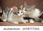 Two European Shorthair Cats...