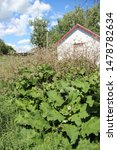 Small photo of wholly burdock, a large invasive species