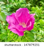 twig with blooming pink wild... | Shutterstock . vector #147879251
