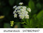 Small photo of Aegopodium. The most well-known member is the Aegopodium podagraria, the ground elder also known as snow-on-the-mountain, Bishop's weed, goutweed, native to Europe and Asia.