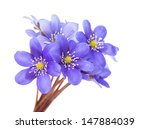 Stock photo hepatica nobilis on a white background 147884039