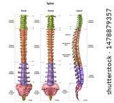 The Human Spine  Vertebral...