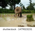 Small photo of Farmer working hard toilsome Muddy clothes water sapling rice sprouts young plant