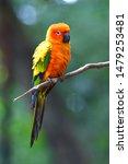 beautiful  sun conure parrot... | Shutterstock . vector #1479253481