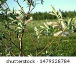 Flowering Willow. Earrings Of...