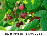A Lot Of Red Raspberries On A...