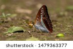 Green Commodore Butterfly Are...