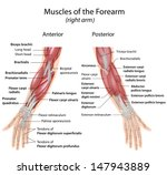 muscles of forearm anterior and ... | Shutterstock . vector #147943889