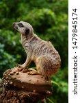 Single Meerkat  Suricate ...