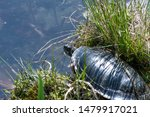 Stock photo tortoise going into the water 1479917021