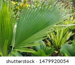 Small photo of palmy round anahaw leafs plants