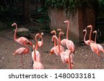 flamingos live in large flocks.   Shutterstock . vector #1480033181