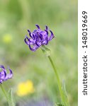 Small photo of Alpine flora: round-headed rampion (Phyteuma orbiculare) found over 2000 meter over sea level in Dolomites Alps, Italy