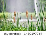 Small photo of Reed mace in front of a fountain