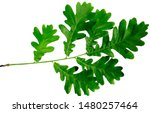 Green Leaves On The Branch Of...