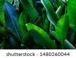 Strelitzia retinae foliage ...
