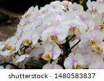 phalaenopsis  is the genus of...   Shutterstock . vector #1480583837