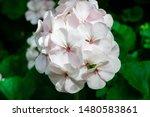 phalaenopsis  is the genus of...   Shutterstock . vector #1480583861