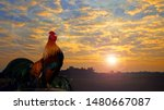 Rooster crowing in the morning...